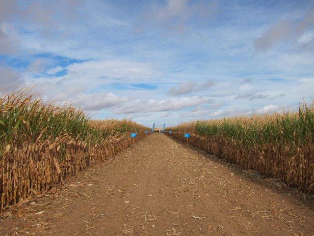 Campo de ensayo de maíz convencional de Monsanto