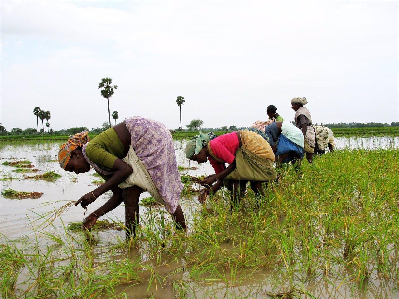 Mujeres plantando en India