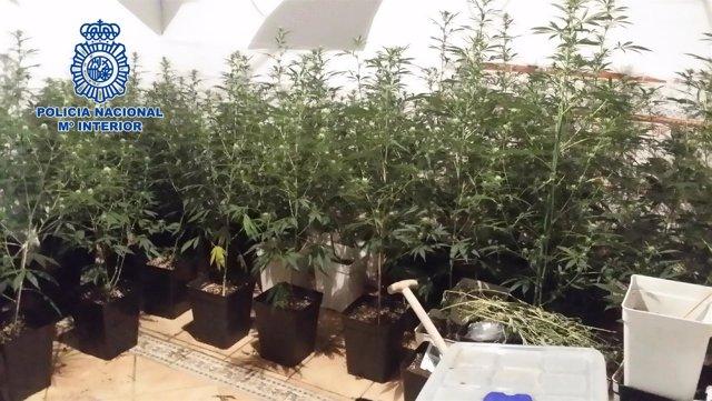 Las plantas de marihuana incautadas