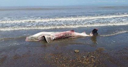 Encuentran un tiburón ballena varado en una playa de Costa Rica