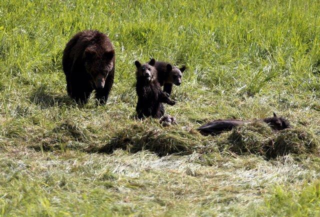 Una familia de osos grizzly