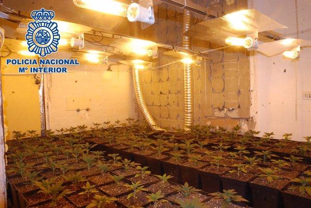 Plantas de marihuana encontradas