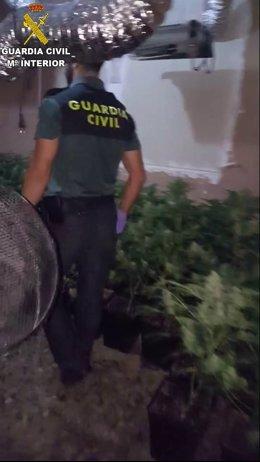 Plantas de marihuana intervenidas en Monserrat