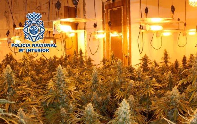 Plantación de marihuana desmantelada en Granada