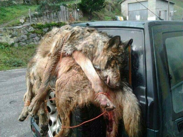 Lobos abatidos
