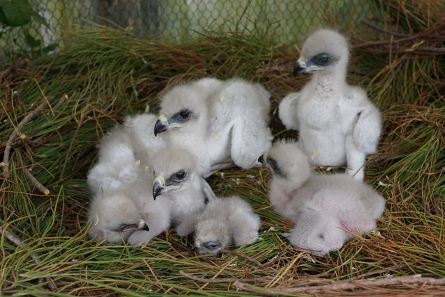 Polluelos de águila de Bonelli o águila perdicera (Aquila fasciata)