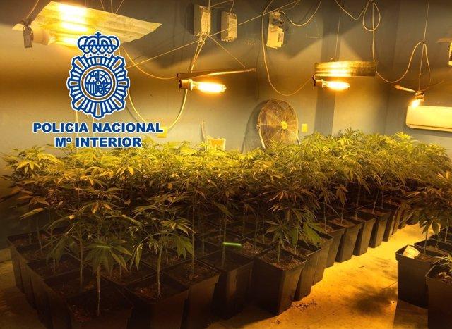 Plantas de marihuana intervenidas por la Policía
