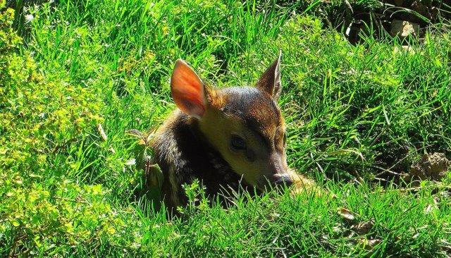 Cría de ciervo asiático nacido en Oviedo