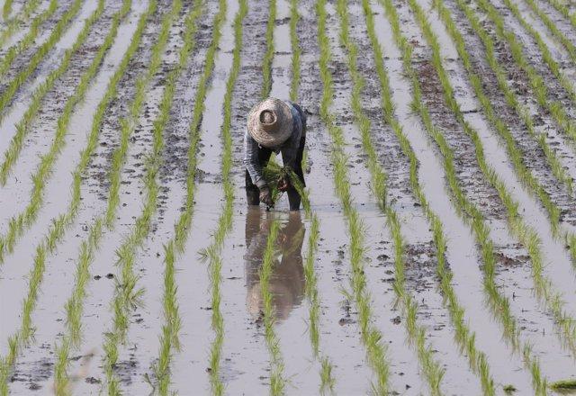 Un agricultor cultivando arroz en Tailandia