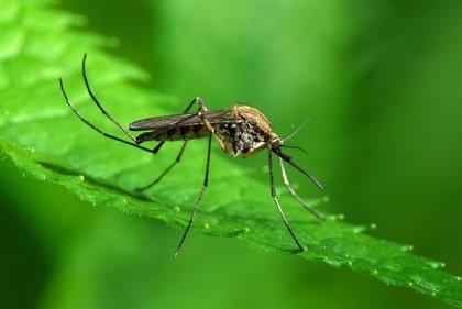 Nueva técnica para controlar los mosquitos 'Aedes'