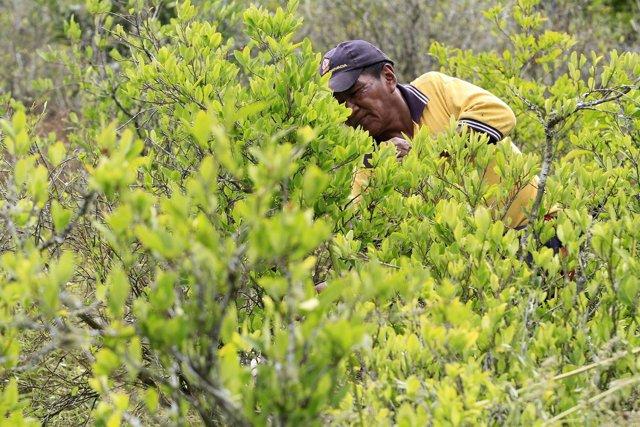 PLANTACIÓN COLOMBIANA DE COCA