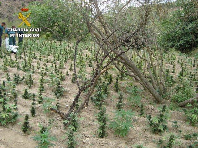 Plantación de marihuana en Sierra de Lújar
