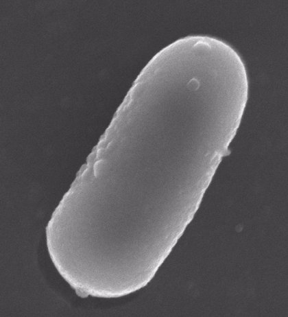 Bacterias lácticas sobreviven a la digestión al incorporarlas a alimentos probióticos