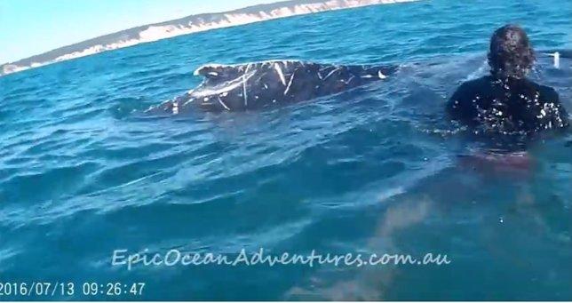 Un ballena pide ayuda para que le desenreden una cuerda