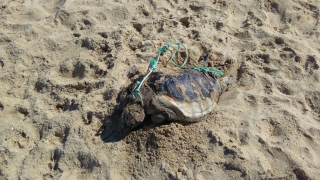 Tortuga encontrada muerta en La redondela