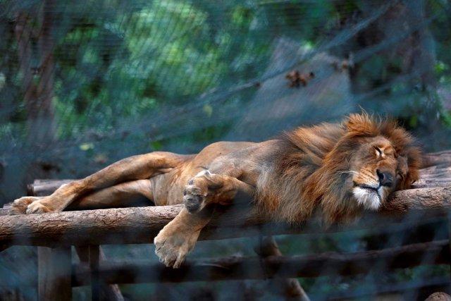 Un león famélico en un zoo en Caracas