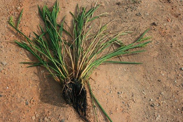 AVA denuncia que la esclerotinia del arroz se propaga por segundo año