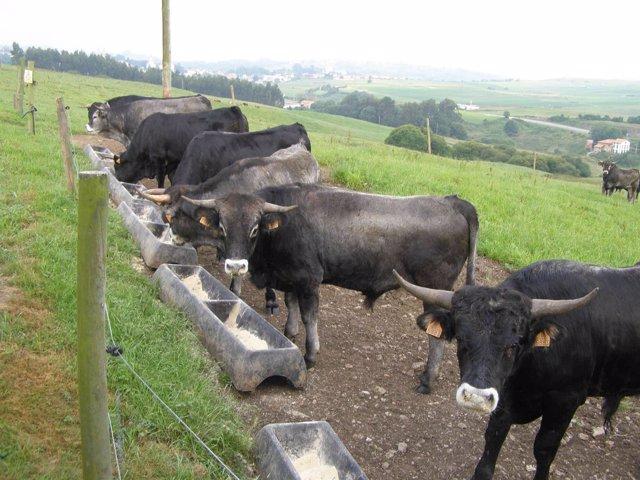 Vacas tudancas