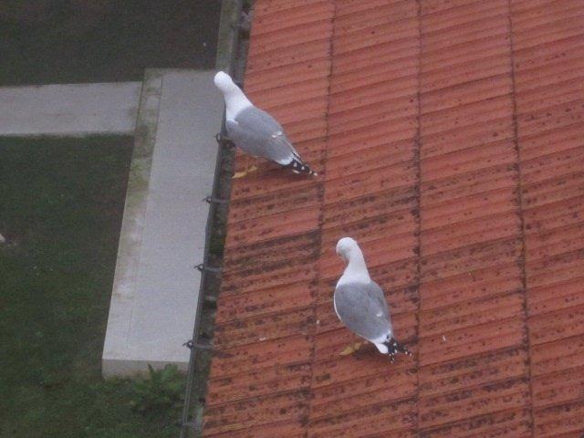 Gaviotas En Un Tejado En Santander