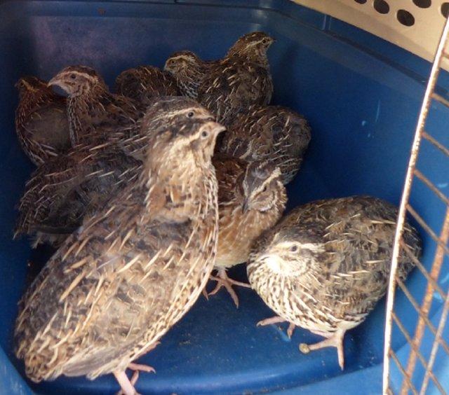Incautación de aves exóticas invasoras