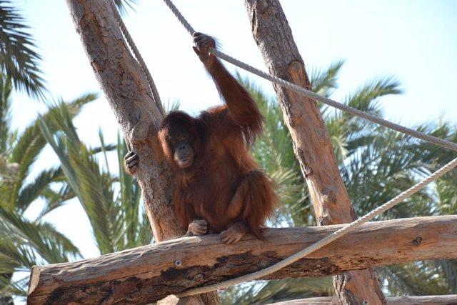 Uno de los orangutanes de Borneo