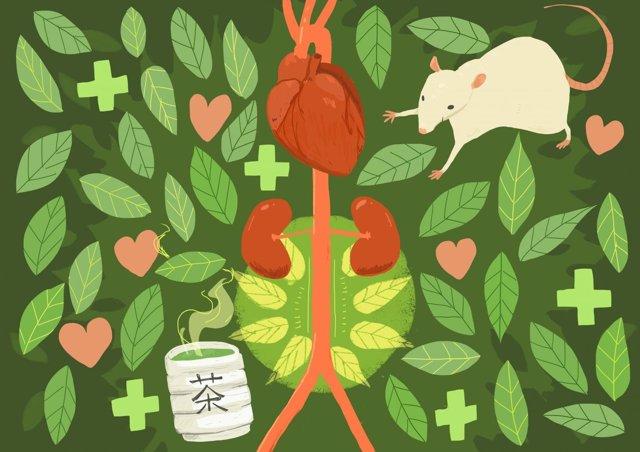 Beber té verde previene la rotura del aneurisma abdominal