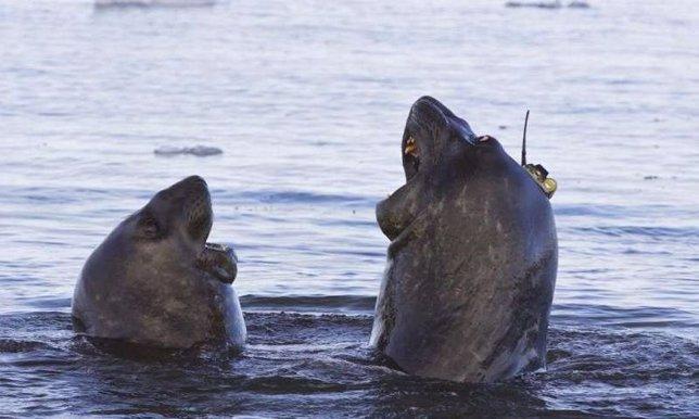Elefantes marinos