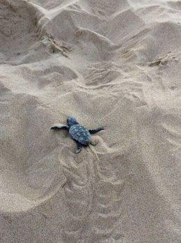 Un ejemplar de tortuga marina nacido en la playa de Tarragona