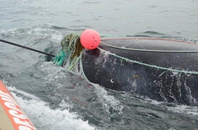 Ballena franca apresada en una red de pesca