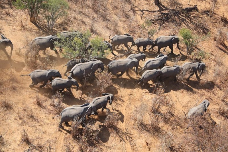 masiva pérdida de elefantes de la sabana africanos