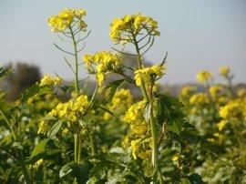 Un aceite de colza '2.0.' logra reducir el riesgo de enfermedades cardiovasculares