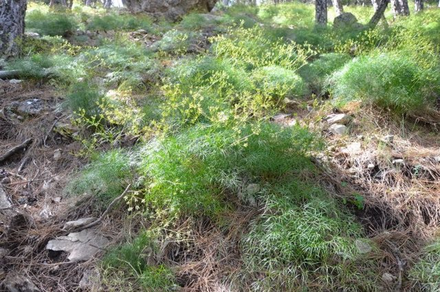 Nueva especie vegetal en el Parque Natural de Cazorla, Segura y Las Villas.