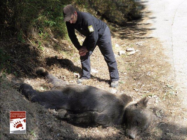Oso Pardo muerto en Cangas del Narcea por un disparo