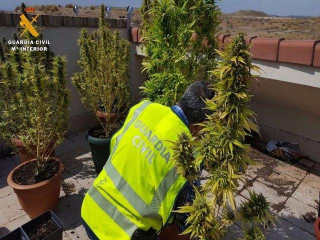 La Guardia Civil interviene 40 plantas de marihuana.