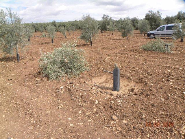 Olivos talados en Pedrera.