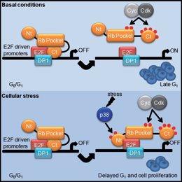 El estrés celular activa una important proteína anticancerígena