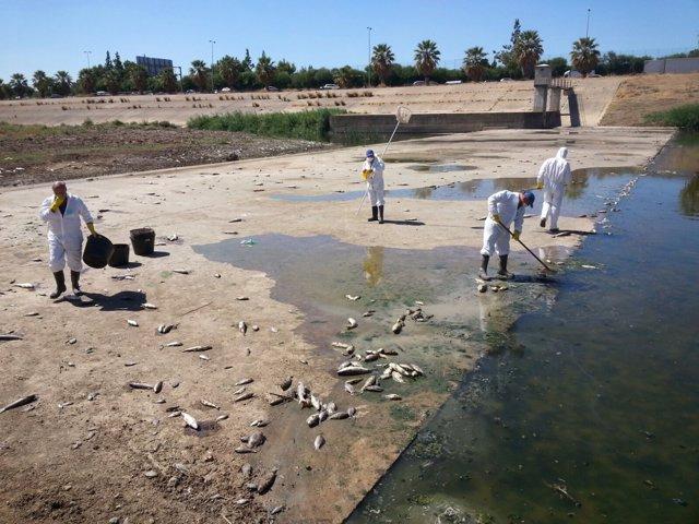 Recogida de ejemplares de peces muertos en el Guadaíra