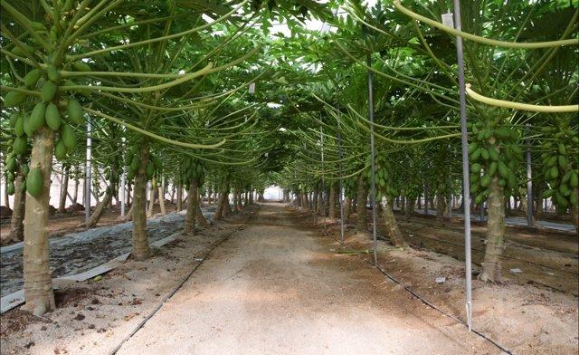 Plantación de papayas