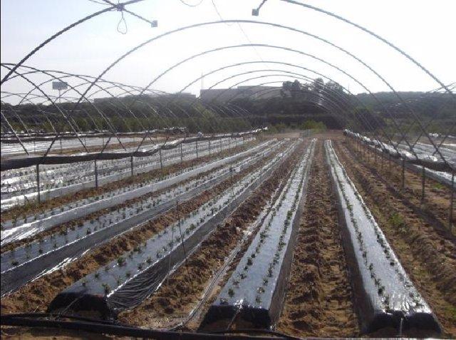 Imagen De Campo De Fresa Con Plástico Biodegradable.
