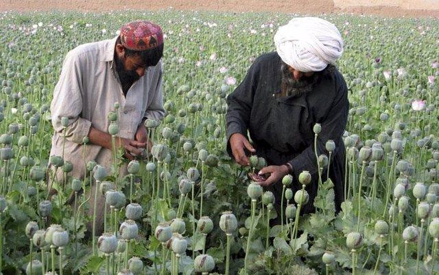 Cultivo de la droga de opio en Afganistán