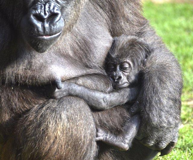 El pequeño gorila nacido en agosto en BIOPARC es una hembra