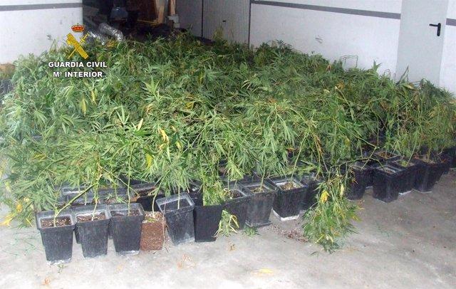 Marihuana intervenida en Arnuero