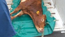 Vaca capturada tras escaparse de Mercabarna