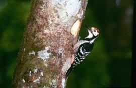 Navarra promueve un plan pionero de seguimiento con GPS de una variedad de pájaro carpintero