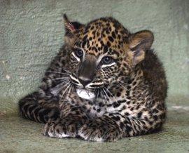 Escolares valencianos elegirán el nombre del leopardo nacido en Bioparc