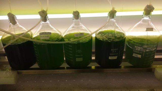 Cultivos de microalgas desarrollados por la Universidad de Huelva