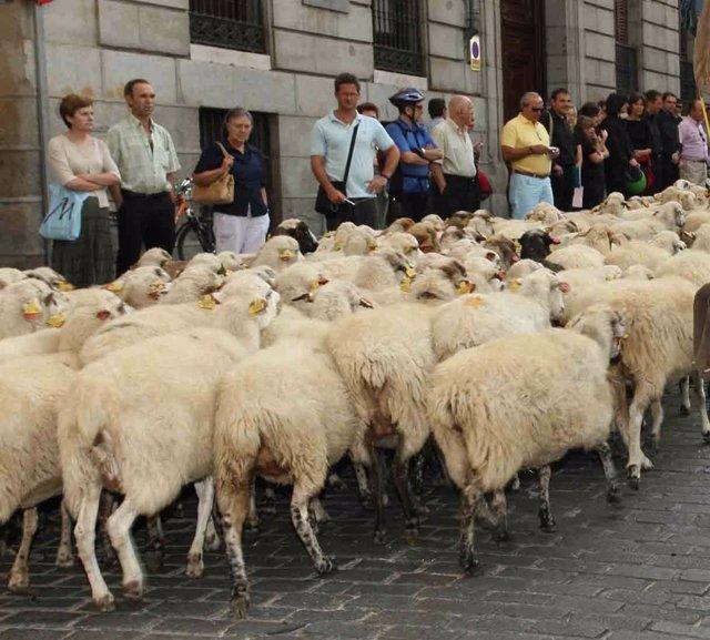 Miles De Ovejas Cruzan El Centro De Madrid En La Fiesta De La Trashumancia
