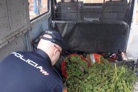 Sucesos.- Detenidos dos hombres por robar plantas de marihuana en una finca de Elche