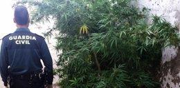 Desmantelada plantación de marihuana en Montoro