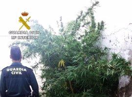 Siete detenidos por tres plantaciones de marihuana en Montoro y Fernán Núñez